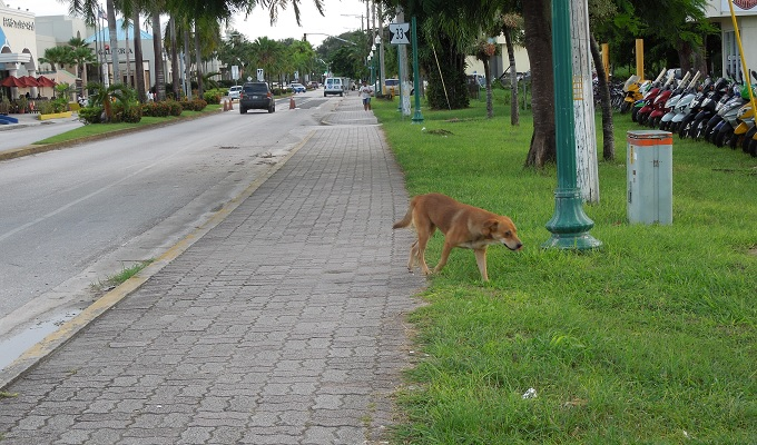 yuサイパン野良犬1