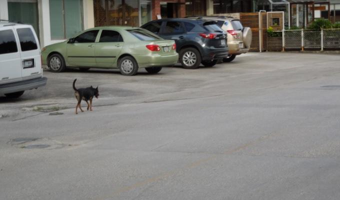 yuサイパン野良犬